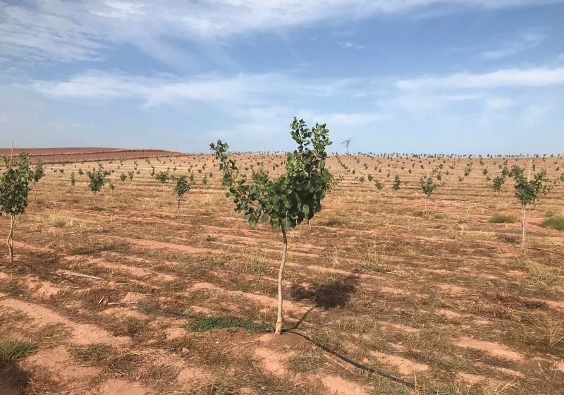 ¡Comenzamos la reserva de plantas de pistacho para la campaña 2019!