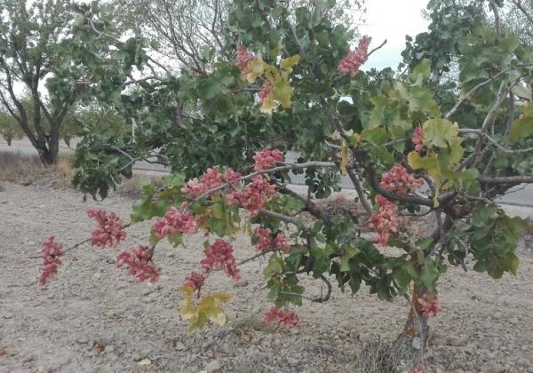 El Condado apuesta por el pistacho